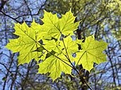Germany, Bavaria, Munich, View of maple leaves in spring - LFF000235