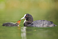 Germany, View of Eurasian Coot feeding chick in water, close up - FOF003394