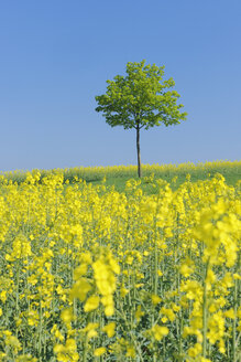 Germany, Bavaria, Franconia, View of single norway maple tree in rape field with blue sky - RUEF000713