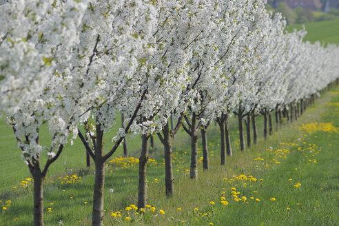 Germany, Bavaria, Franconia, View of cherry tree plantation in blossom - RUEF000708