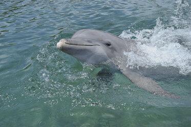Latin America, Honduras, Bay Islands Department, Roatan, Caribbean Sea, View of bottlenose dolphin swimming in seawater surface - RUEF000665