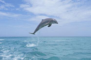 Latin America, Honduras, Bay Islands Department, Roatan, Caribbean Sea, View of bottlenose dolphin jumping in seawater - RUEF000662