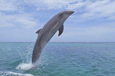 Latin America, Honduras, Bay Islands Department, Roatan, Caribbean Sea, View of bottlenose dolphin jumping in seawater - RUEF000660