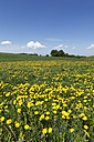 Germany, Bavaria, Upper Bavaria, Muensing, Holzhausen, View of church at distant with meadows of dandelions - SIEF001566