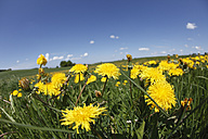 Germany, Bavaria, Upper Bavaria, Close up of dandelions - SIEF001563
