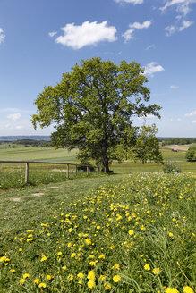 Germany, Bavaria, Upper Bavaria, Degerndorf, Muensing, View of oak tree in meadow - SIEF001556