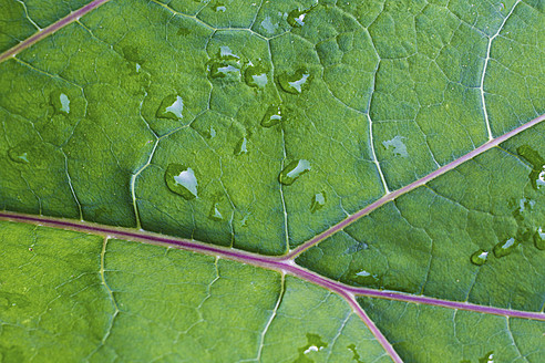 Austria, Close up of butterbur leaf with water drops - MBEF000139