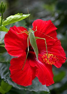Africa, Guinea-Bissau, Grasshopper on hibiscus, close up - DSGF000017