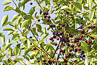 Austria, Close up of branch of morello cherry tree with cherries - MBEF000146