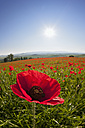 Italy, Tuscany, Crete, View of red poppy field at sunrise - FOF003527
