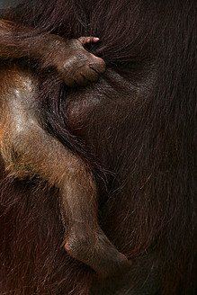 Indonesia, Borneo, Tanjunj Puting National Park, View of Bornean orangutan carrying young one in forest, close up - DSGF000003