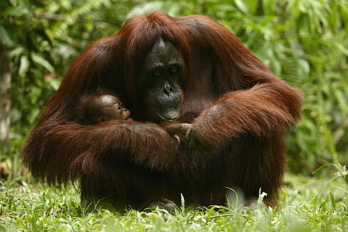 Indonesia, Borneo, Tanjunj Puting National Park, View of Bornean orangutan with young one in forest - DSGF000040