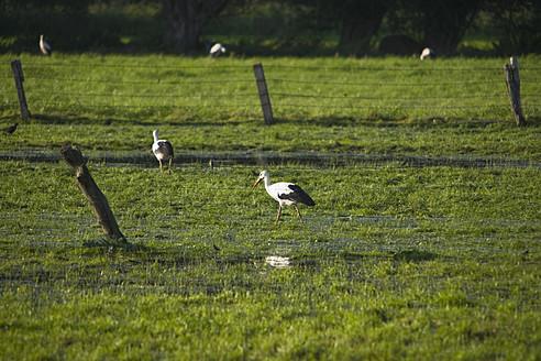 Germany, Storks on grassland - HKF000469