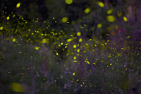 Italy, Tuscany, View of fireflies in meadow at night - HSIF000136