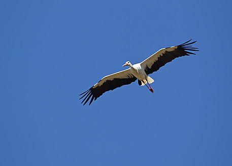 Germany, Bavaria, White stork flying against blue sky - FOF003562
