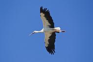 Germany, Bavaria, White stork flying against blue sky - FOF003570