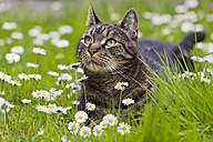 Germany, Bavaria,  European Shorthair cat lying on meadow - FOF003589