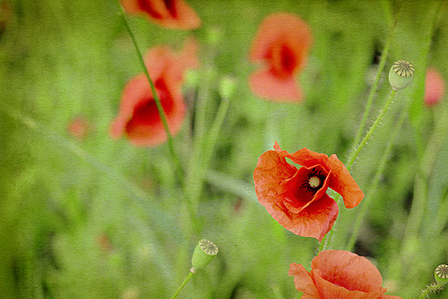 Germany, Munich, Close up of red poppy in meadow, textured effect - HSTF000006