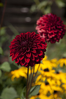 Germany, Hamburg, Dahlia and marigold in allotment garden - DBF000173