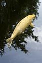 Germany, Hessen, Frankfurt, Cyprinus carpio fish in garden lake - MUF001108