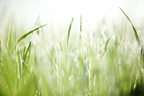 Italy, Tuscany, View of grass with dew drops, close up - FLF000010