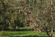 Germany, Bavaria, Upper Bavaria, Apple trees in apple orchard - SIEF001961