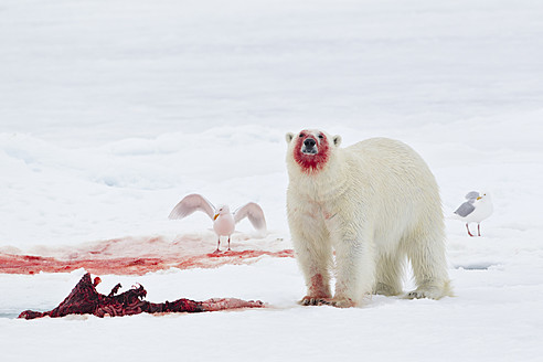 Europe, Norway, Svalbard, Polar bear with birds eating killed seal - FO003607