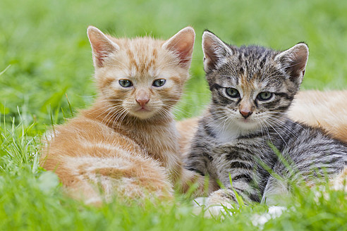 Germany, Kittens sitting in meadow, close up - FOF003618