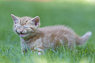 Germany, Kitten crying in meadow, close up - FOF003621