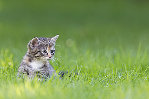 Germany, Kitten sitting in meadow, close up - FOF003622