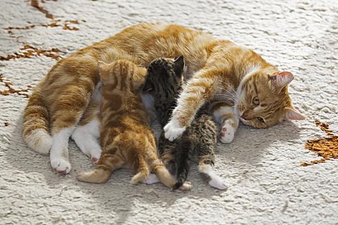 Germany, Cat nursing kittens, close up - FOF003652