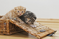 Germany, Kittens in box, close up - FOF003653