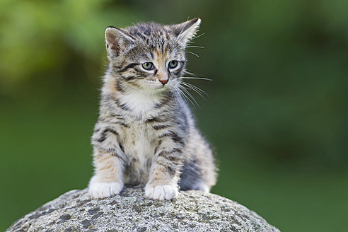 Germany, Kitten sitting on stone, close up - FOF003688