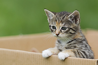 Germany, Kitten in cardboard box, close up - FOF003690