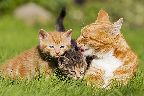 Germany, Cat with kittens in meadow - FOF003713