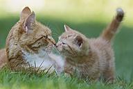 Germany, Cat with kitten in meadow - FOF003716