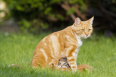 Germany, Cat with kittens in meadow - FOF003717