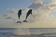 Latin America, Honduras, Bay Islands, Roatan, Bottlenose dolphin jumping in caribbean Sea - RUEF000727