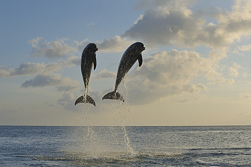 Latin America, Honduras, Bay Islands, Roatan, Bottlenose dolphin jumping in caribbean Sea - RUEF000727