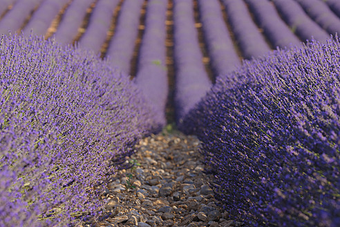 France, Mediterranean Area, Plateau De Valensole, Valensole, View of lavender field - RUEF000747