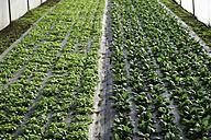 Germany, Upper Bavaria, Weidenkam, View of greenhouse with purslane - TCF002058