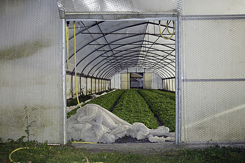 Germany, Upper Bavaria, Weidenkam, View of greenhouse with endive - TCF002070