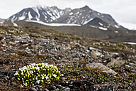 Europe, Arctic, Norway, Spitsbergen, Svalbard, View of friged sandworts with mountain in background - FOF003726