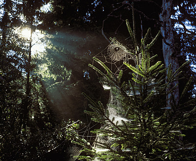 Germany, Bavaria, Geretsried, Spider web on fir tree - SIEF002063