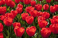 Europe, Germany, North Rhine Westphalia, View of red tulip flower bed - CSF015600
