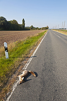 Germany, Thuringia, Dead red fox on country road - WD001179