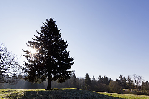 Germany, Bavaria, View of fir tree with sun - FOF003871