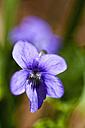 Germany, Bavaria, Viola odorata, close up - FOF003858