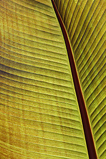 USA, New York, Palm leaf, close up - ANBF000050