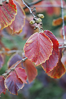 Germany, Corylus avellana leaves, close up - ANBF000005